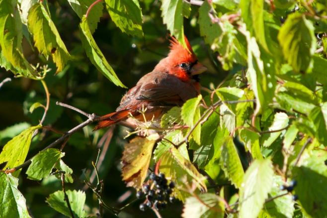 Cardinal Amateur 50